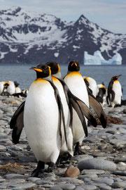 Line of penguins walking up a beach
