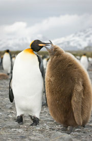 Parent penguin feeding chick