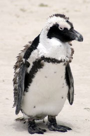 Penguin crusted with snow