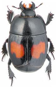 http://www.zin.ru : Margarinotus bipustulatus