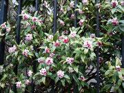 近所の沈丁花です