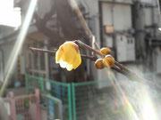 我が家の遅咲きの蝋梅