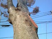 さっぱり散髪。太い枝が切り落とされました。