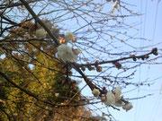 早咲きの近所の梅の花です