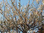 ぼちぼち、舞い散る梅。