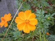 咳の頃咲くお花「キバナ・コスモス」