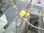 蝋梅の香りに癒されます・・・