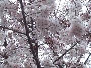 ~近所のソメイヨシノ~