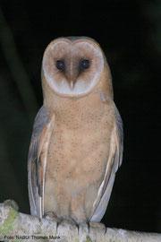 Junge Schleiereule (Tyto alba guttata)