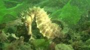 hippocampe moucheté - bassin d'Arcachon - Juillet 11