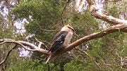 Ein kugeliger, wuscheliger Kookaburra