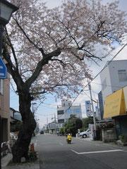 水道路の古桜