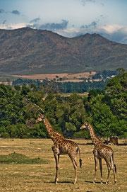 Giraffen in Südafrika