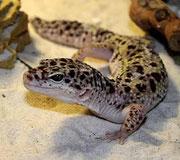 Flake - Snow Leopardgecko