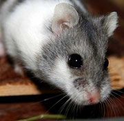 Neugieriger Campbell Hamster