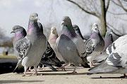 Système anti pigeons, pics, filets, gel bird free, éloignement, Vaucluse, Gard, Drome, Avignon, Orange, Bollène, 84.