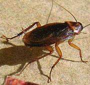 Lutte et traitement contre les cafards, blattes, punaises des lits, fourmis, Vaucluse, Orange, 84, Avignon, Bollène