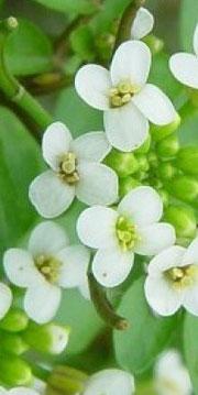 Flores del Berro