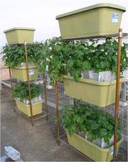 屋外でのジャガイモ多層栽培実験