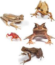 研究の対象になったアマゾンの熱帯林のカエルたち / Gui Becke