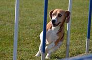 Beagle Mex A3