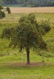 "Apfelbaum der Sorte ""Cox Pomona"""