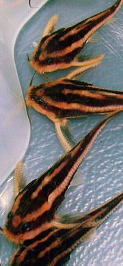 Platydoras costatus: Die Tiere sind gesellig und sollten immer in einer Gruppe gehalten werden.