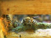 アレクリンの新芽が豊富な時期にプロポリスを作るミツバチの様子。とても綺麗なグリーンプロポリスになりました。