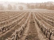 rangées de vignes