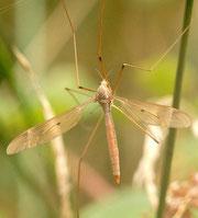 Tipula fulvipennis