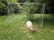 Widder Rory entfernt Löwenzahn und hohes Gras aus dem Fussballtor unserer Spielwiese.
