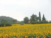 トスカーナのヒマワリ畑