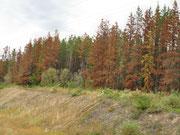 nicht Herbst - Pine Beatle-Befal l - im 1. Jahr rot im 2. Jahr grau und tot