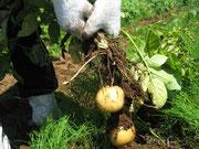 暑い中、なんと681個も収穫しました!