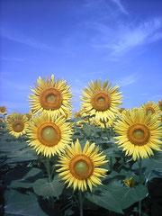 向日葵のように目標に向かって常に同じ方向を見つめていたい・・・