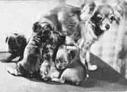 Нелли, вл. Туманова и щенки от Чикки (?) Открытка 1969 года, фото В. Елисеева. На оригинальной фотографии рукой Е.Ф. Жаровой написано «Нелли вл. Туманова со своим семейством, 1964 год».