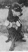 КНОПКА, Владелец:. Зитева Е.К. Каталог собак, г. Пермь, 1987 из архива Инны Киндт, Германия