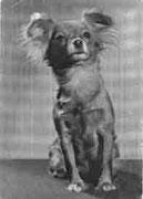 Тобик (один из прямых предков известного производителя - Мэя), вл. Алексеева, г. Москва соболиный кобель Открытка 1969 года, фото В. Елисеева.