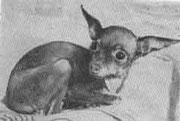ЛЕЙЛА, Владелец: вл. Година Г.П. Каталог собак, г. Подольск, 1983 из архива Инны Киндт, Германия