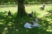 auch die Hühner schlendern vorbei und finden's komisch...