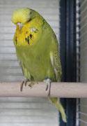 Яшма - серо-зеленая спенгл