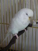 Кристи - белый лейсвинг