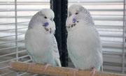 Хэппи, Лакки - голубые чистотелые/ носители коричного и ино генов