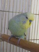Софт - голубой осветленный желтолицый 2-го типа