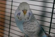 Акварель - голубая серокрылая