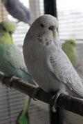 Стива - серая серокрылая (или осветленная?)