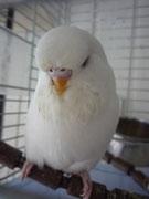Белла - альбино
