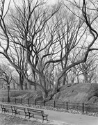 ©Mitch Epstein, American Elm, Central Park, New York 2012