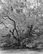 ©Mitch Epstein, Caucasian Wingnut, Brooklyn Botanic Garden II 2011