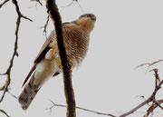 Sperbermännchen - Garten, Februar 2021